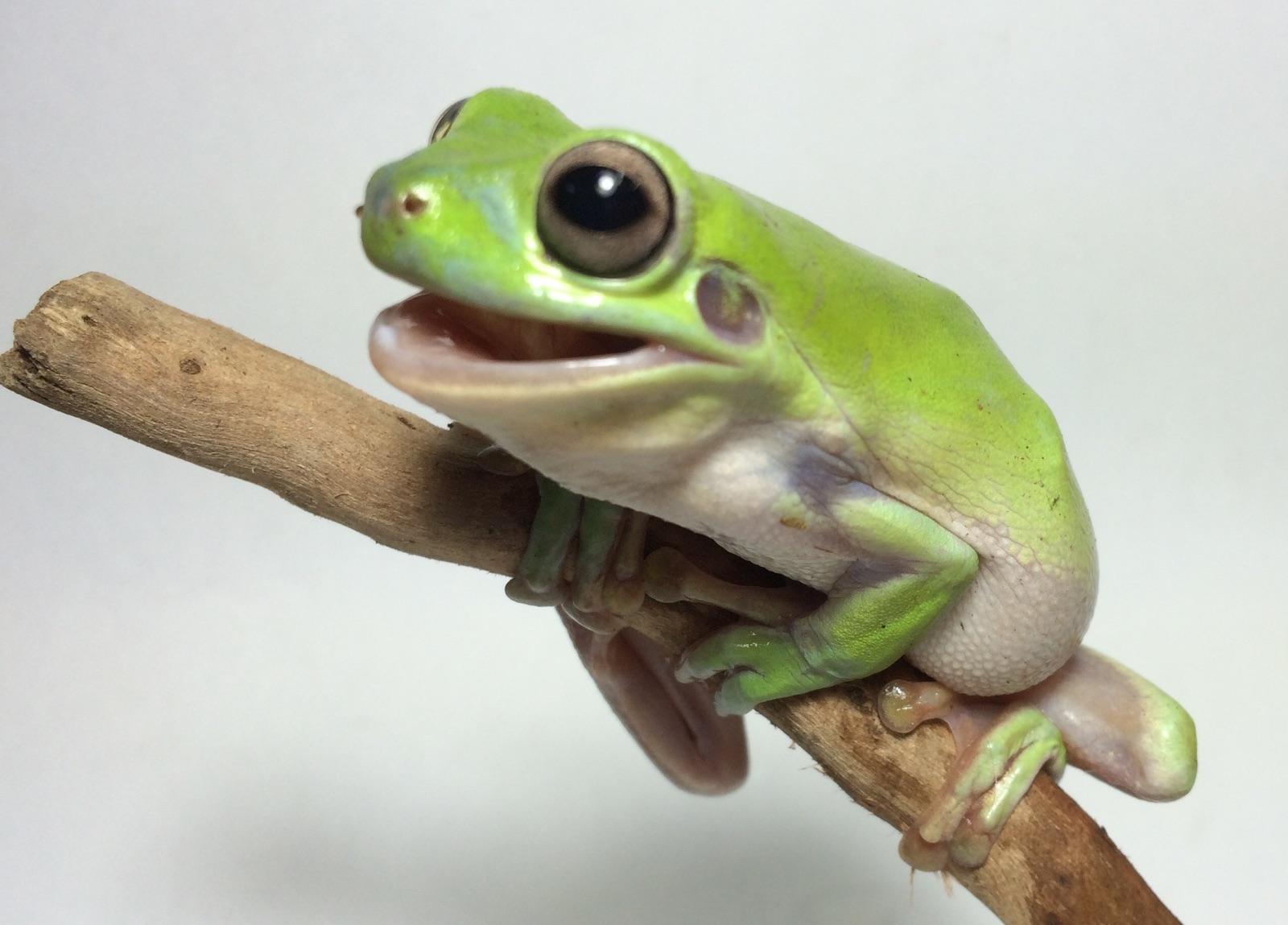 keeping the green tree frog as a pet petmart pte ltd