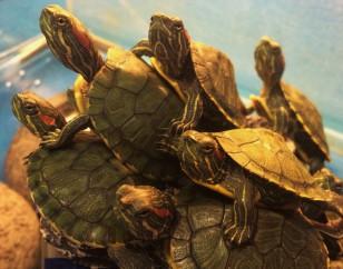 Pet-Care-Turtle